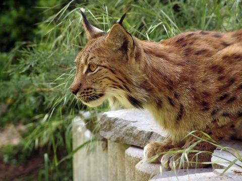 Ilveste arvukus on terves Eestis drastiliselt vähenenud, nii et ilvesekahju on muutunud üliharuldaseks. Foto: www.tunturisusi.com