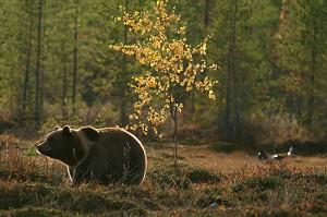 Karu Noore karu nägemine pole midagi tavapäratut. Foto: Walter Rodriquez