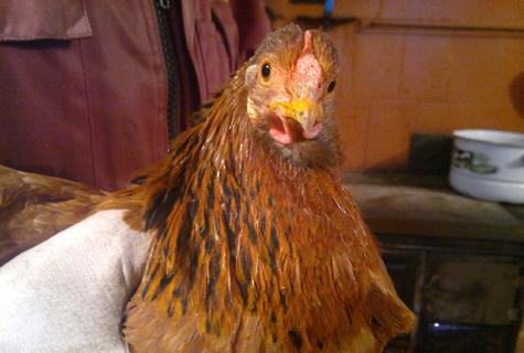 Keedika kana on välimuse järgi põline. Foto Annika Michelson