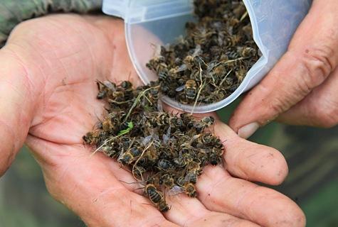 Mesilased. Arvo Kirs avastas kolmapäeval, et mesilased surevad. Hukka saavad just tugevamad, rohkem korjel käivad mesilased. Foto: Arvo Tarmula