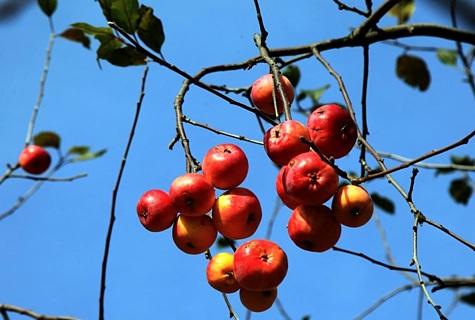 Et tänavu on tulnud vähe vihma, tuleks õunapuudele talvise külmumise vältimiseks kõvasti juua anda. Foto: Arvo Tarmula