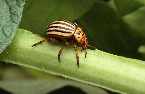 1024px-Colorado_potato_beetle