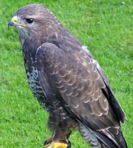 Buteo_buteo_-hiireviu Mike Barry from Wirral, England