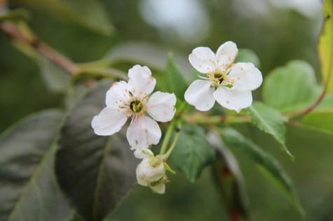 Õitsev kirsipuu 003