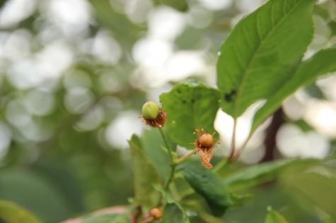 Õitsev kirsipuu 006