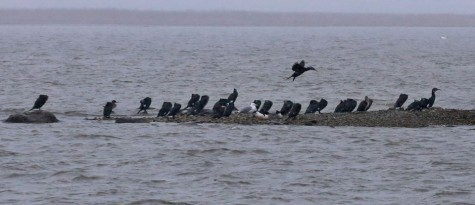 kormoranid arvo tarmula