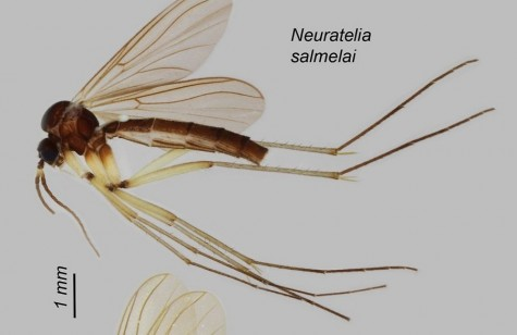 neuratelia-salmelai-saask-71268179