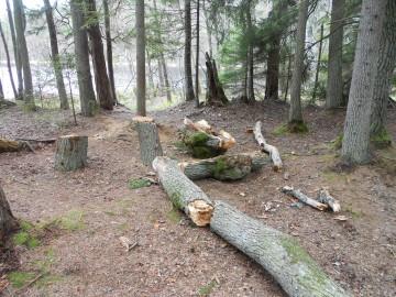 Peraküla metsaema puu