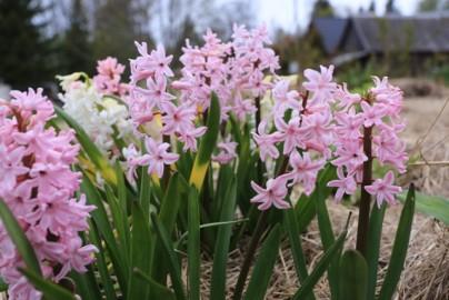 oreli lilled piir (11)