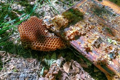Lõhutud mesipuu