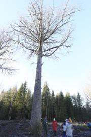 haava puu f arvo tarmula