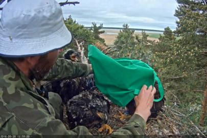 Kotkapoegade rõngastamine Urmas Sellis  (14)