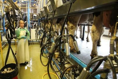Koolilapsed Leediküla lehmalaudas 211