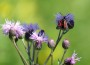 lilled tarmula
