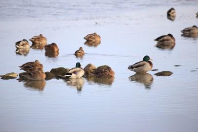 Madal vesi ja linnud Tagalahel (arvo tarmula) (6)