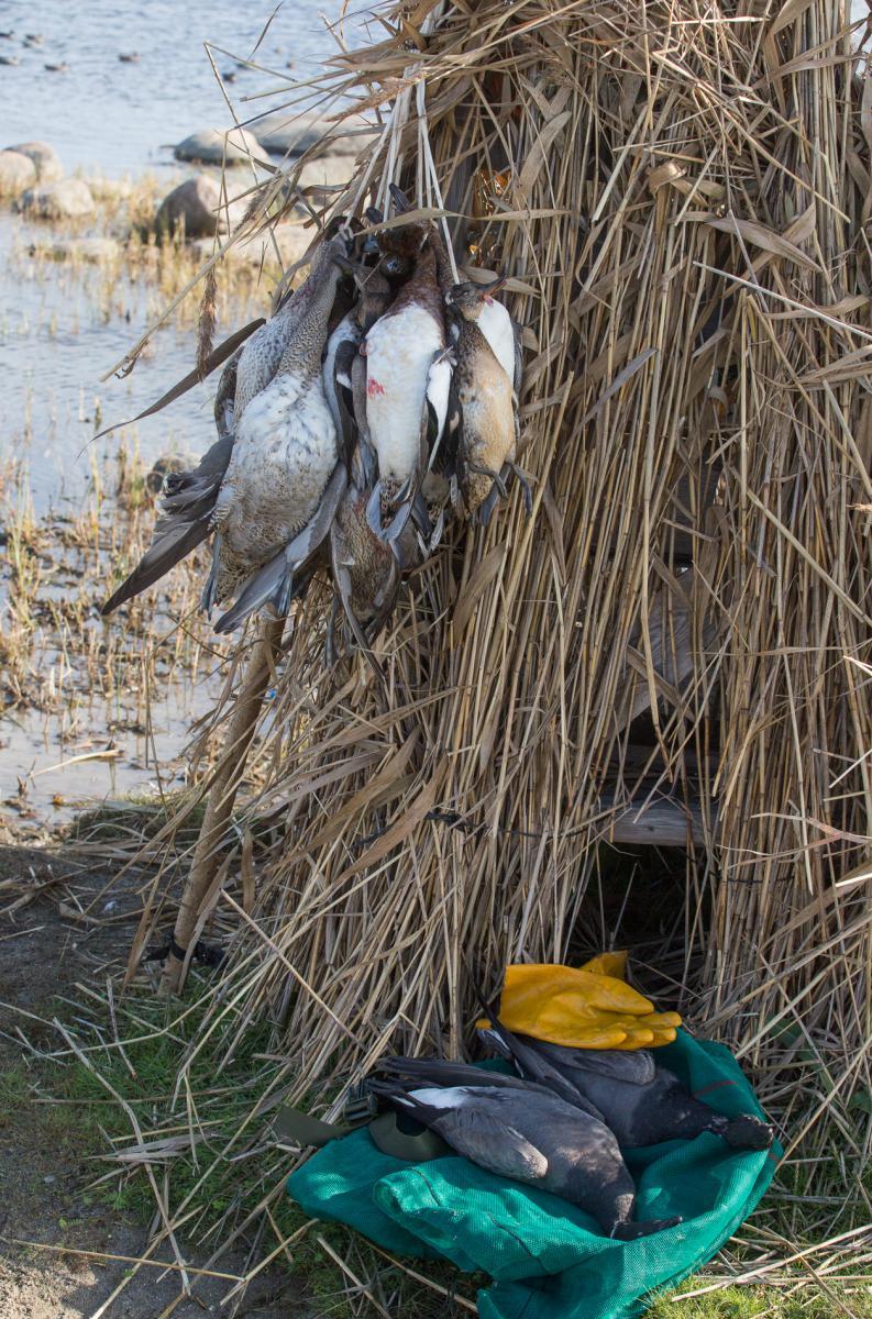 Ebaseaduslik linnujaht Kihnul (mati kose) (3)