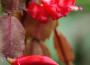 PÕU_harilik_jõulukaktus