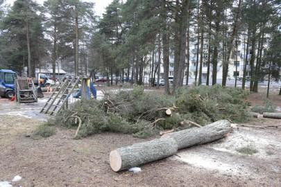 Puude langetamine Kuuse tn pargis (arvo tarmula) (1)