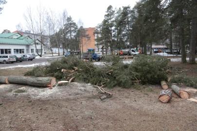 Puude langetamine Kuuse tn pargis (arvo tarmula) (2)