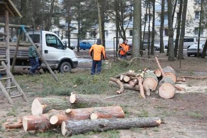 Puude langetamine Kuuse tn pargis (arvo tarmula) (6)