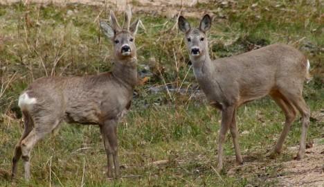 Metskits Foto Vikipeedia