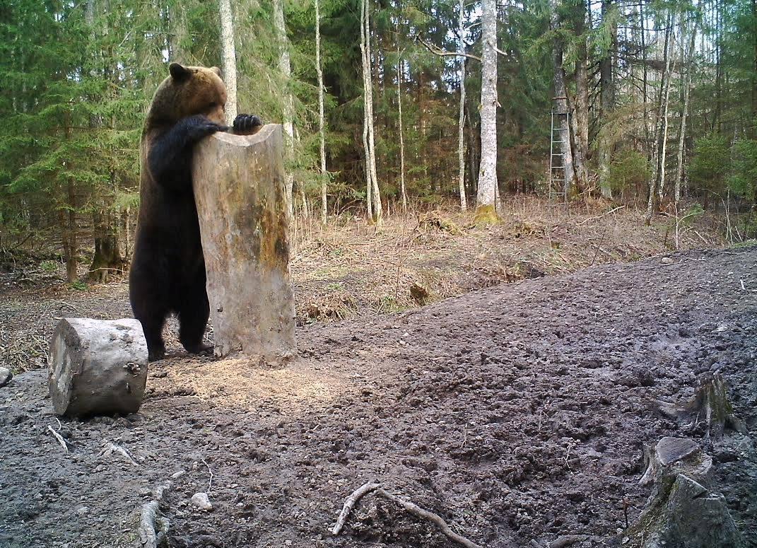 Lõuna-Läänemaal uitab karu